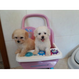 Poodle Micro Toy Branco