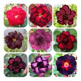 Rosa Deserto - 25 Sementes Dobradas E Triplas