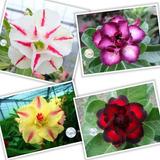 Semente Rosa Do Deserto - 10 Semente Frete Gratis Registrado