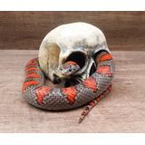 Toca Cranio - Para Corn-snake, Caranguejeira, Etc.